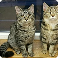 Adopt A Pet :: Nadia (2) - St. Johnsbury, VT