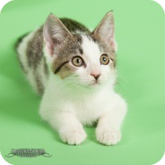 Domestic Shorthair Kitten for adoption in St. Louis, Missouri - May