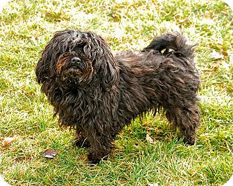 Havanese Mix Dog for adoption in Meridian, Idaho - Midnight