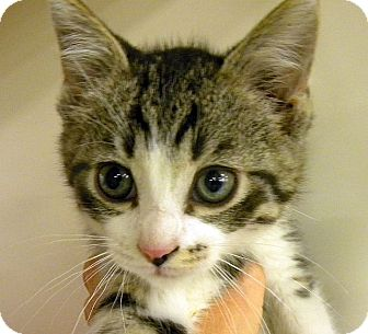 Domestic Shorthair Kitten for adoption in Green Bay, Wisconsin - Ken