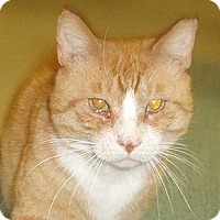 Adopt A Pet :: Boots - Germansville, PA