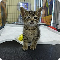 Adopt A Pet :: Pip - Lighthouse Point, FL