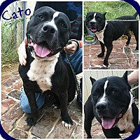 Adopt A Pet :: Cato - Chicago, IL
