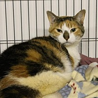 Domestic Shorthair Cat for adoption in Bourbonnais, Illinois - Spirit