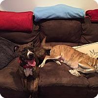 Adopt A Pet :: Suzy - Cream Ridge, NJ