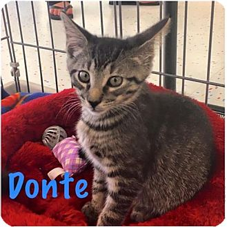 Domestic Shorthair Kitten for adoption in Land O Lakes, Florida - Donte