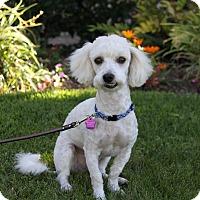 Adopt A Pet :: JIMMY - Newport Beach, CA