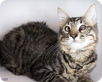 Domestic Mediumhair Kitten for adoption in Tucson, Arizona - WINKY
