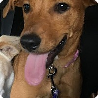 Retriever (Unknown Type)/Dachshund Mix Dog for adoption in Summerville, South Carolina - Rosebud