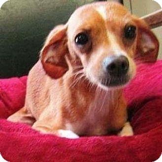 Spaniel (Unknown Type)/Terrier (Unknown Type, Medium) Mix Dog for adoption in Akron, Ohio - Summer PENDING ADOPTION