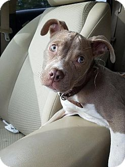 American Staffordshire Terrier/Pit Bull Terrier Mix Puppy for adoption in Raleigh, North Carolina - Shiloh