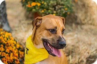 Boxer Mix Puppy for adoption in Jacksonville, Alabama - Prince Charming