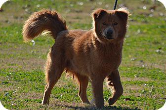 Chow Chow/Retriever (Unknown Type) Mix Dog for adoption in Lebanon, Missouri - Boomer