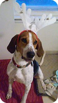 Treeing Walker Coonhound Dog for adoption in Lombard, Illinois - Sampson