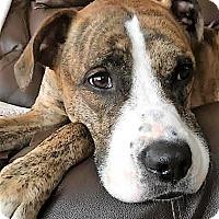 Adopt A Pet :: Rudy, best boxer BFF! - Snohomish, WA