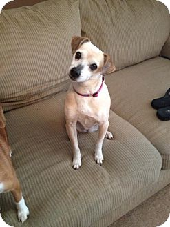 Chihuahua/Feist Mix Dog for adoption in Bedminster, New Jersey - Chloe