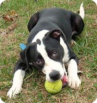 american bulldog and lab mix ozzie adopted puppy lebanon me american bulldog 5445