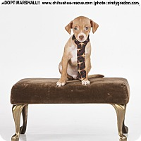 Adopt A Pet :: Marshall - Puppy - Dallas, TX