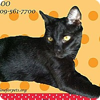 Domestic Shorthair Cat for adoption in Monrovia, California - Boy BOO
