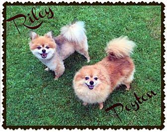 Pomeranian Dog for adoption in Harrisburg, Pennsylvania - Riley