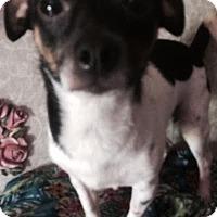 Adopt A Pet :: Phoenix meet me 12/11 - East Hartford, CT