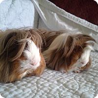 Adopt A Pet :: Dandy - San Antonio, TX