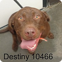 Adopt A Pet :: Destiny - baltimore, MD