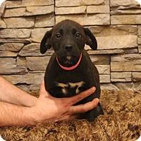 Adopt A Pet :: Star - Waldorf, MD