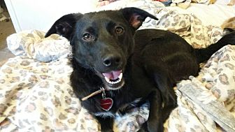 Border Collie/Labrador Retriever Mix Dog for adoption in Alhambra, California - Lilah