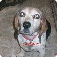Adopt A Pet :: CADBURY - Ventnor City, NJ