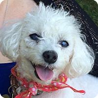 Toy Poodle Dog for adoption in Fairfax, Virginia - Mandu *Needs Foster*
