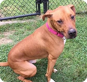 Pit Bull Terrier Mix Dog for adoption in Millersville, Maryland - Notorious