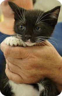 Domestic Shorthair Kitten for adoption in Wauconda, Illinois - Io