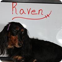 Adopt A Pet :: Raven-Adoption Pending - Marcellus, MI
