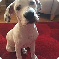 Dalmatian/Pit Bull Terrier Mix Puppy for adoption in Baltimore, Maryland - Bayy