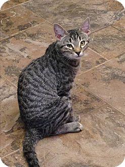 Domestic Shorthair Cat for adoption in Redding, California - Ben