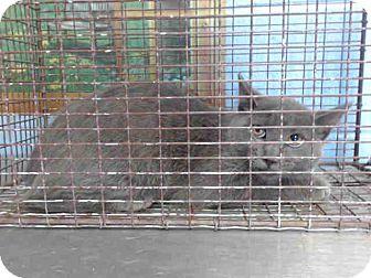 Domestic Shorthair Cat for adoption in San Bernardino, California - URGENT on 9/28 San Bernardino