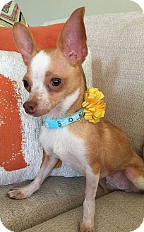 Chihuahua Mix Dog for adoption in Flossmoor, Illinois - Jazzy