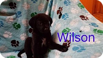 Shepherd (Unknown Type)/Labrador Retriever Mix Puppy for adoption in Hainesville, Illinois - Wilson