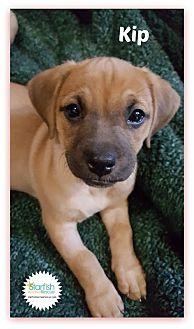 Dachshund Mix Puppy for adoption in Plainfield, Illinois - Kip