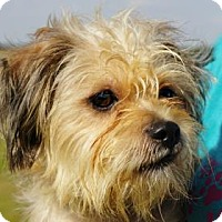 Terrier (Unknown Type, Small)/Maltese Mix Dog for adoption in LaHarpe, Kansas - Jeffery