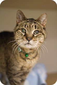 Domestic Shorthair Cat for adoption in Grayslake, Illinois - Cypress