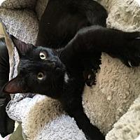 Adopt A Pet :: Bear - West Des Moines, IA