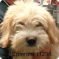 Adopt A Pet :: Emerald - baltimore, MD