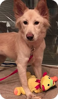 Spitz (Unknown Type, Medium)/Retriever (Unknown Type) Mix Dog for adoption in Billerica, Massachusetts - Sadie