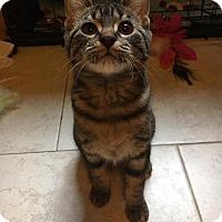 Adopt A Pet :: Bourbon - Chicago, IL
