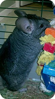 Chinchilla for adoption in Patchogue, New York - Ami