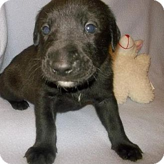 Labrador Retriever Mix Puppy for adoption in Shirley, New York - BEAR