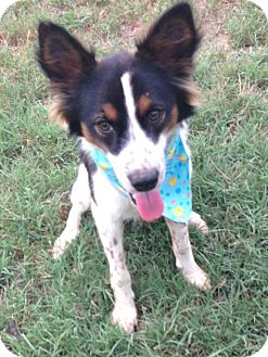 Papillon/Spaniel (Unknown Type) Mix Puppy for adoption in Conway, Arkansas - Jackson
