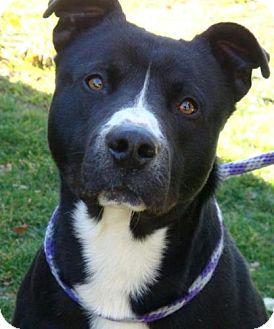 Border Collie/Labrador Retriever Mix Dog for adoption in Red Bluff, California - Raley-$30 Adoption Fee